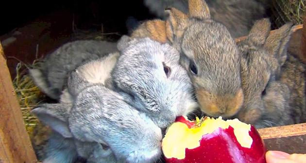 При кормление декоративных кроликов нужно отнестись со всей ответственностью, что бы сохранить здоровья питомца