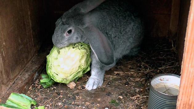 Суточная норма норма крольчихи должна варьироваться в 150-200 сена и объясняется быстрой скоростью роста крольчат