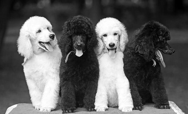 Породы собак: Королевский пудель