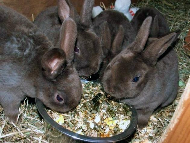 При кормление кроликов необходимо придерживаться графика и объема пищи