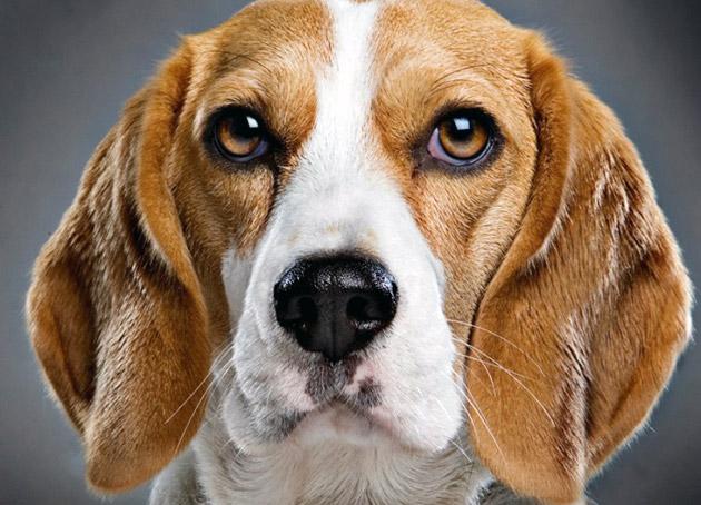 Одной из причин мокрого носа у собаки является то, что нос осуществляет функцию теплообмена