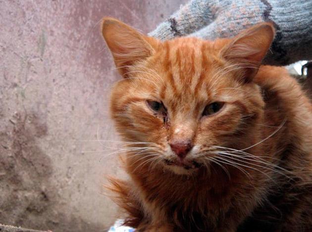Острая стадия при чумке характеризуется обильным слюноотделением, учащенным дыханьем и вялостью кошки