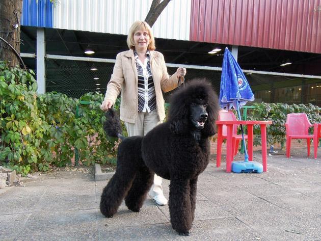 Как утверждают владельцы королевских пуделей, самый большой минус связан с высокими расходами на собаку