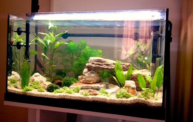 При покупке пары рамирези, аквариум должен быть объемом от 30 литров