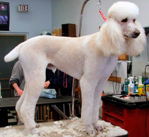 Особой заботой является шерсть у щенка королевского пуделя в возрасте до года