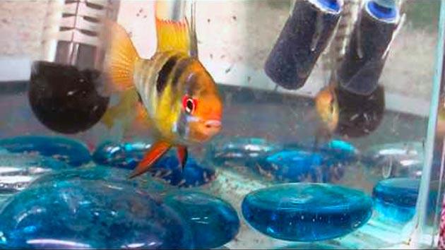 При содержание апистограммы рамирези учтите, что эти аквариумные рыбки не переносят хлора