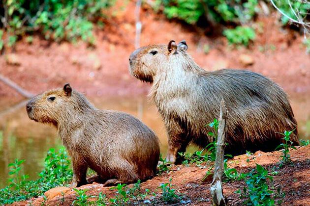 Копибара водное животное, поэтому большое время проводить в воде или около водоемов