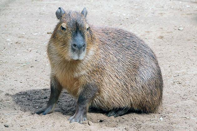 Капибара – водяная свинья