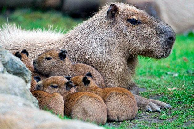Копибара вынашивает детенышей около 150 дней