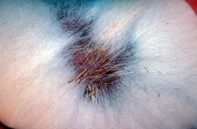 Аденит у кошки характеризуется воспалением и неправильной работой сальных желез