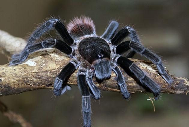 При содержание некоторых видом пауков, необходимо соблюдать меры предосторожности, а иначе это грозит здоровью