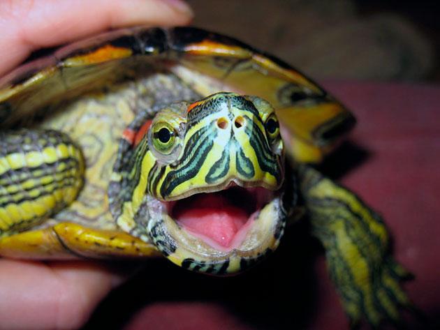 Кормление в основном производится в дневные часы, когда черепаха максимально активная