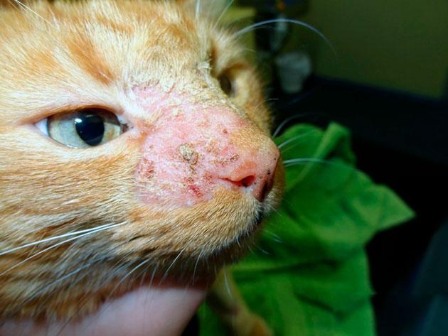 Это достаточно редкое заболевание, которое проявляется в первый месяц жизни кошки