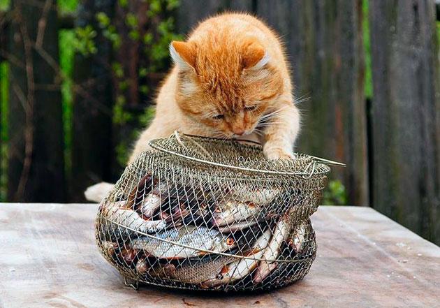Если решили порадовать кошку рыбой, лучше выбрать рубку с высоким содержанием минералов