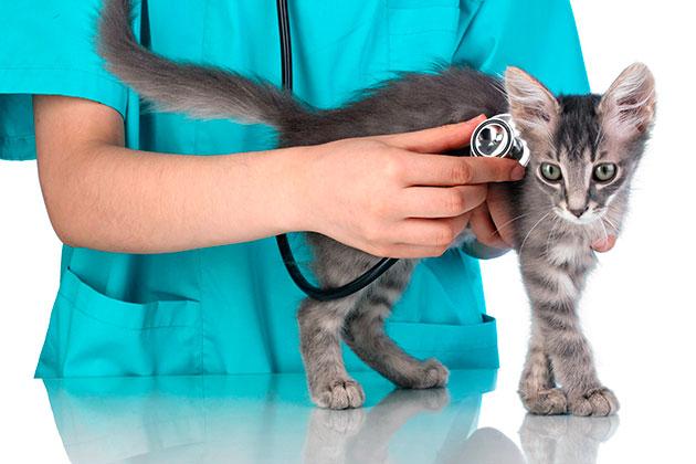 Если после получения травмы головы ваша кошка начала без причины дрожать - необходимо обратиться к ветеринару