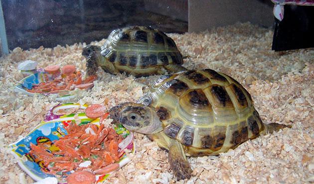 Популярно самостоятельное приготовление кормов для черепахи и позволяет сделать рацион более сбалансированным