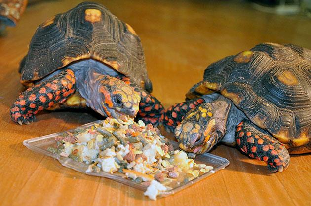 В качестве лакомства, иногда можно давать черепахам мясо, предварительно ошпаренное кипятком