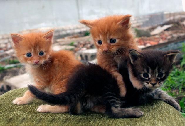 Купаться котенка мейн куна необходимо приучать постепенно
