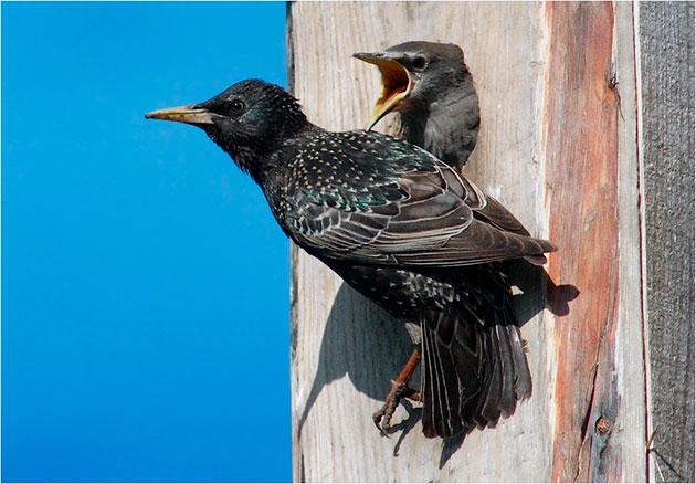 Скворцов обыкновенные ведут перелетный образ жизни обычно на новое место первые прилетаю самцы, а затем уже самки