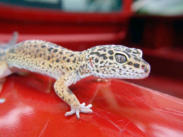 Леопардовый эублефap сумеречное животное, поэтому активен в вечернее и ночное время суток