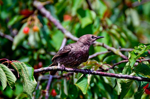 Первая миграция у скворцов обыкновенных начинается в сентябре