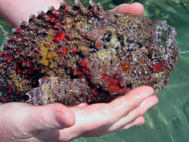 Если вы укололись иглами рыбы-камень первое что необходимо сделать - нанести стягивающую повязку, что бы яд не распространился по коже