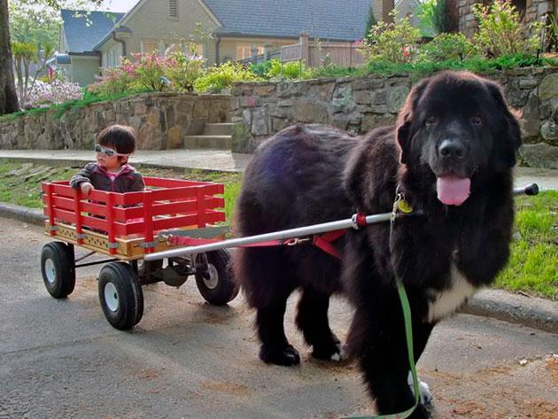 Как говорят владельцы ньюфаундленды очень социальные собаки, которые требуют постоянного внимания