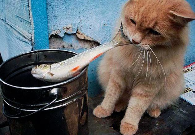 Если после кормления кошки рыбой, она становиться вялой, шерсть тускнеет - лучше отказаться от этого вида пищи