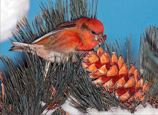Рацион питания клеста - семена хвойных деревьев, которые они достают из шишек
