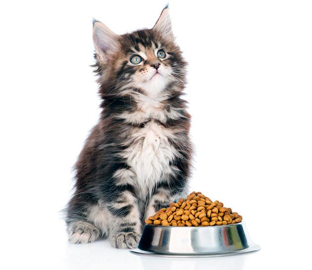 Котята мейн куна плохо контролирую объем съедаемой пищи, эта ложиться на плечи хозяина