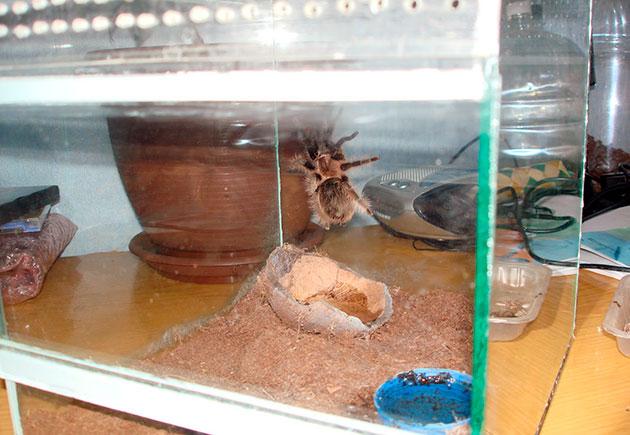 террариум для паука должен приобретаться из расчета, что бы питомец смог свободно по нему передвигаться