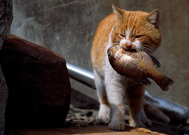 Если очень часто баловать кошку рыбкой, то у неё может понизиться свертываемость крови