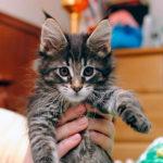 Содержание и уход за котятами мейн-куна
