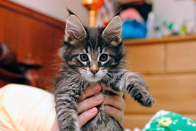 Если котенок мейн куна напрудил в неположенном месте, возьмите салфетку обмакните в лужицу и переложите в лоток