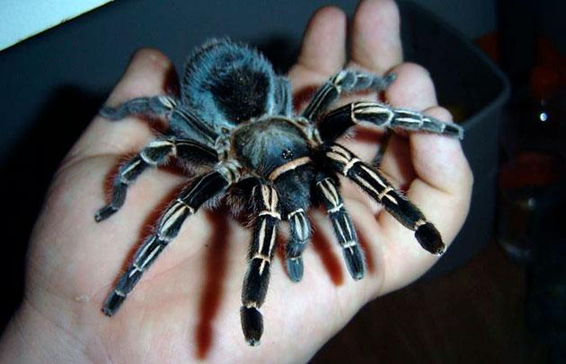 При покупке пауков бери в учет продолжительность их жизни, так как некоторые виды живут около 30 лет