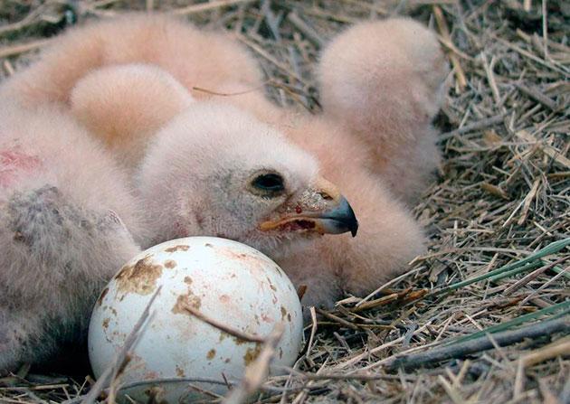 Самки степного луня примерно месяц высиживают яйца