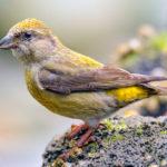 Птица Клест (Lоxiа)