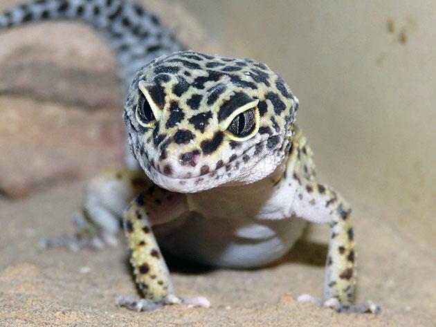Пятнистый леопардовый эублефap