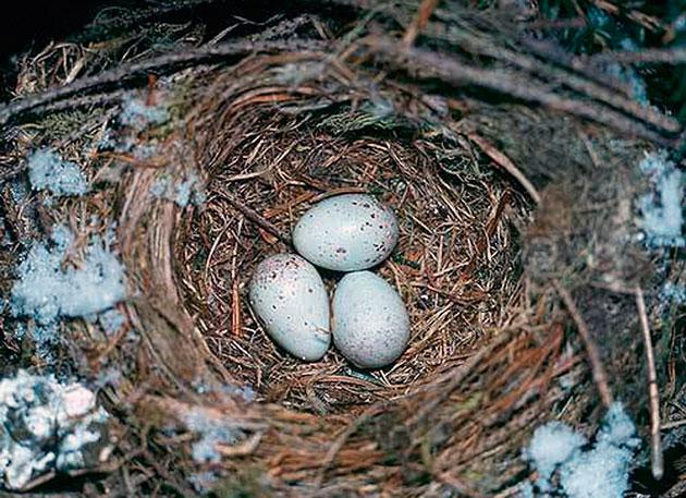 Гнезда клесты вьют в густой хвое на высоте 2-10 метров
