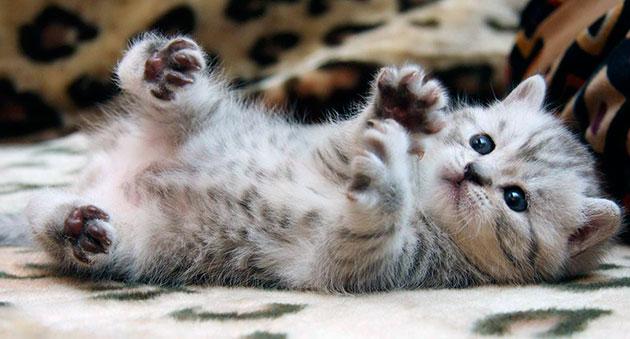 Средняя продолжительность жизни кошки напрямую зависит от её породы