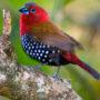 Птички Астрильды (Estrilda)