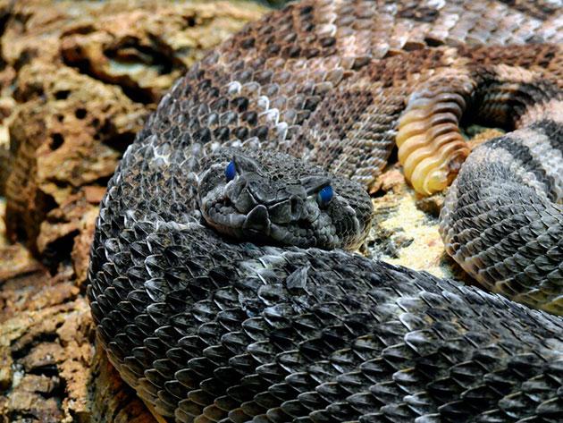 100 раз подумайте, стоит ли заводить столь опасную для жизни рептилию дома