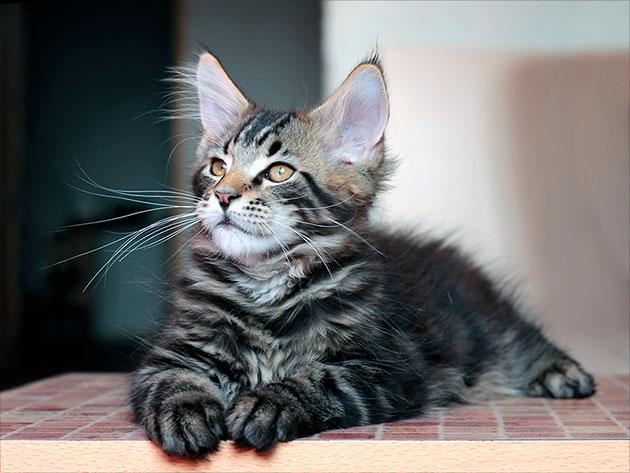 Особое внимание при уходе за котенком мейн куна уделяйте - глазам и ушам