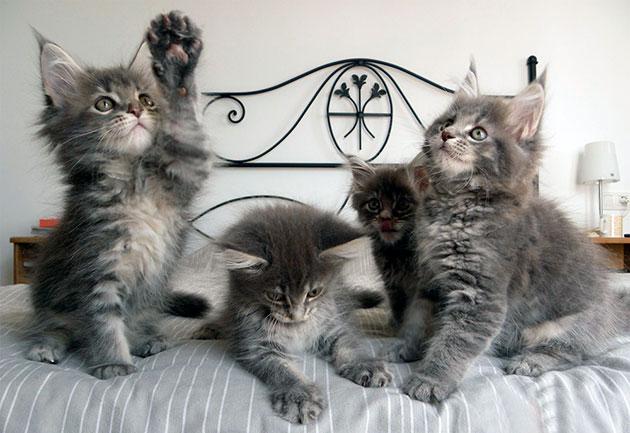 Уход и содержание котят мейн-куна