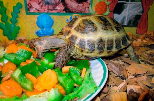 Хищным черепахам в корм обязательно добавляют нежирное мясо, а так же рыбу