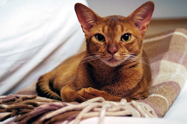 Породы кошек: Абиссинская кошка