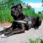 Породы собак: Американский бандог