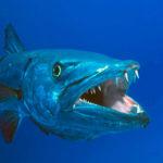 Барракуда – морская щука