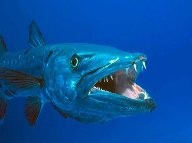 Барракуда – хищная рыба