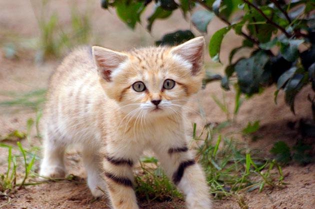 Бархатные кошки исходя из своего названия приспособлены жить в самых суровых климатических условиях
